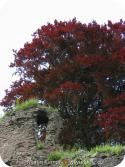 12378 Abergavenny castle red tree.jpg